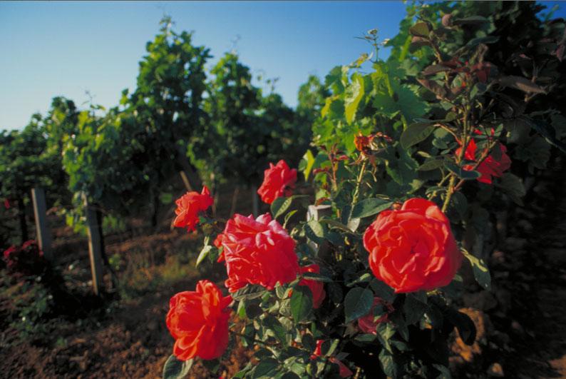Vignes-et-rosier